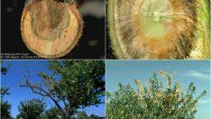 Kayısı Ağaçları Neden Kuruyor ?