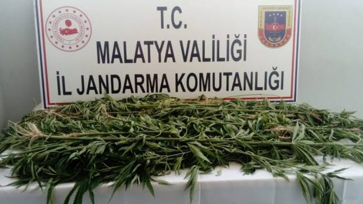 Battalgazi'de  1500 kök kenevir bitkisi ele geçirildi.