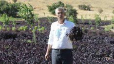 Arapgir Mor Reyhanının Ürün Yelpazesi Genişliyor