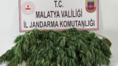 """Malatya İl Jandarma Komutanlığınca """"Yasa Dışı Kenevir Ekimine"""" yönelik yapılan operasyonda"""